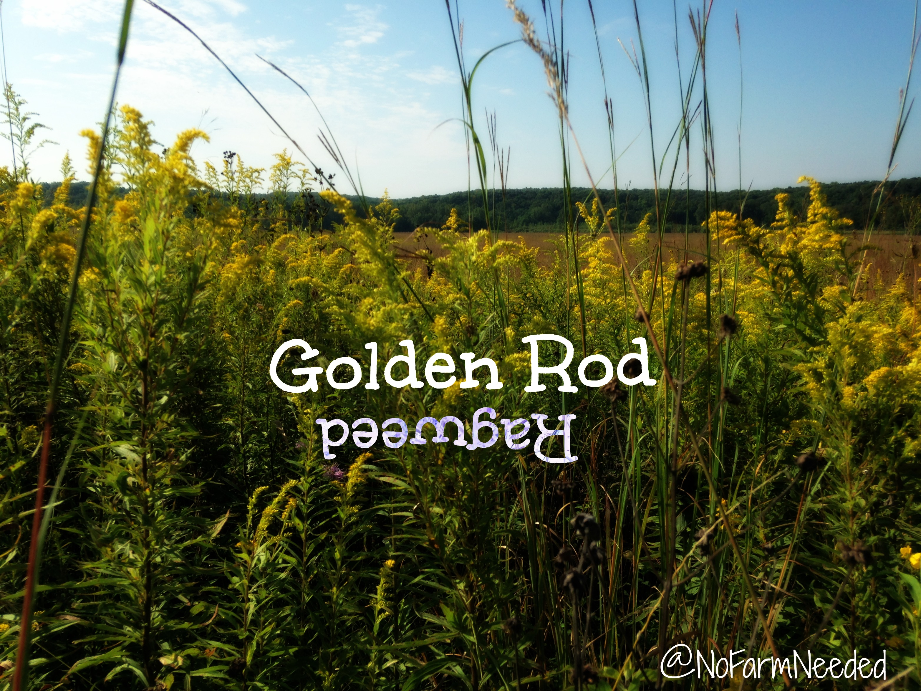 Golden Rod vs Ragweed @NoFarmNeeded