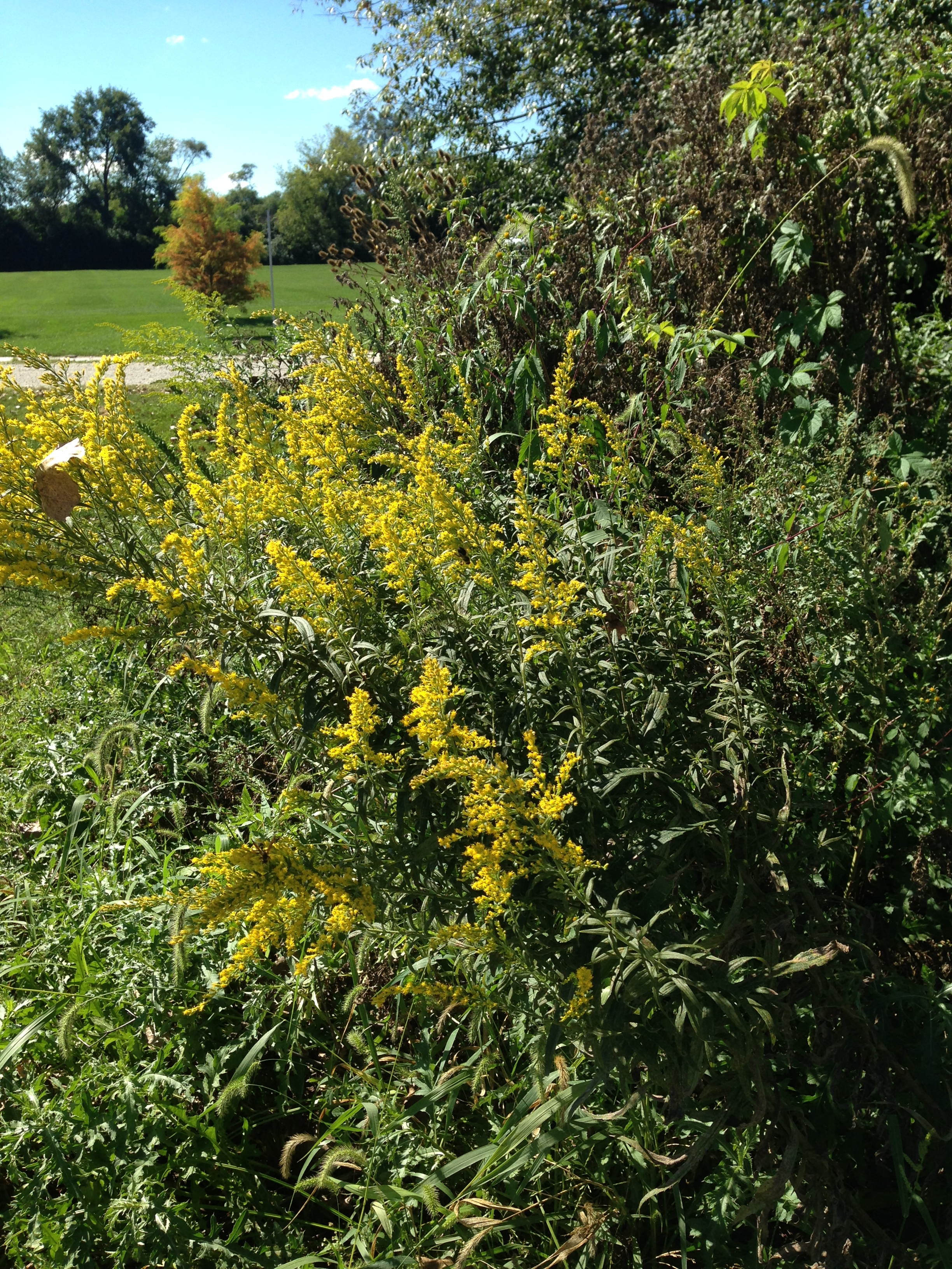 Goldenrod Group NoFarmNeeded