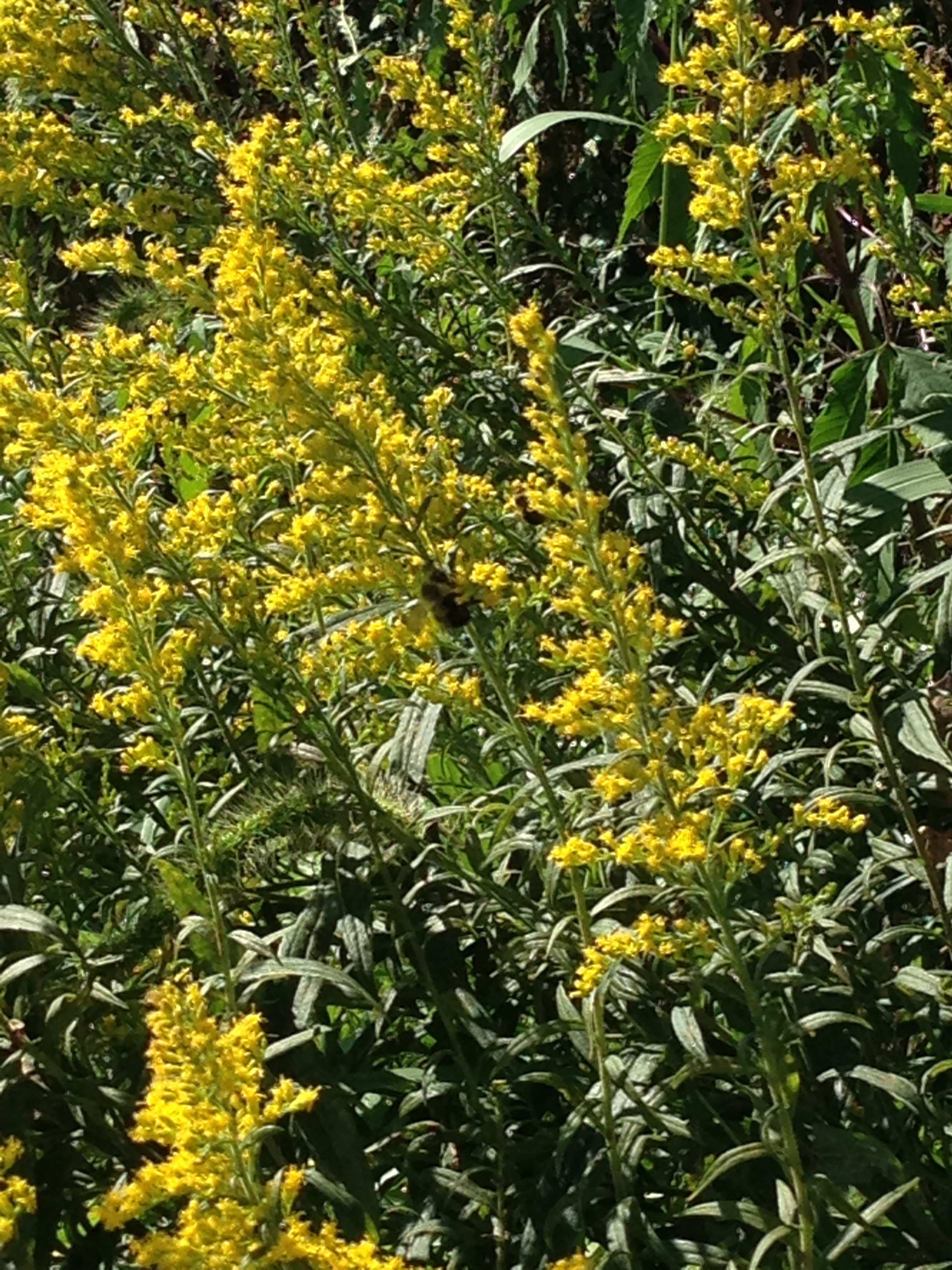 Goldenrod Golden Flowers