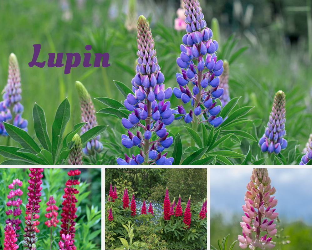 Lupin NoFarmNeeded