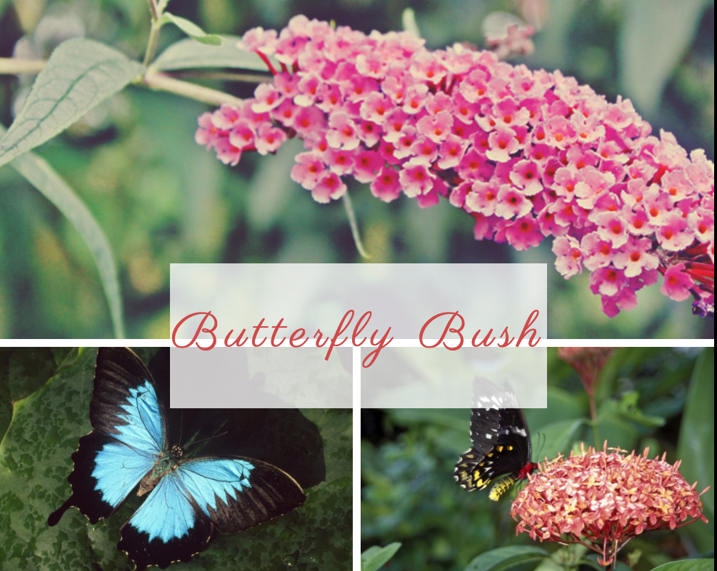 Butterfly Bush NoFarmNeeded