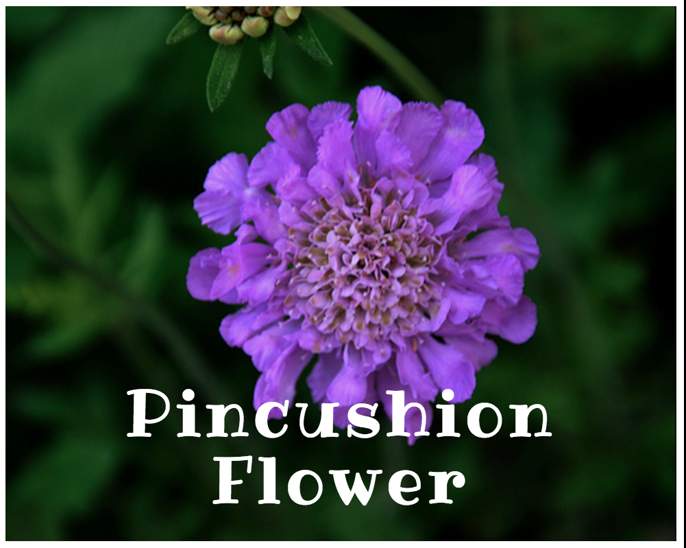 Pincushion Flower NoFarmNeeded