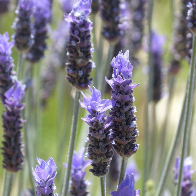 Lavender NoFarmNeeded