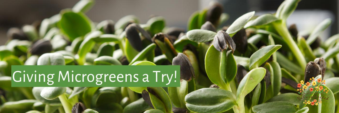 Giving Microgreens a Try-grow your own microgreens - nofarmneeded