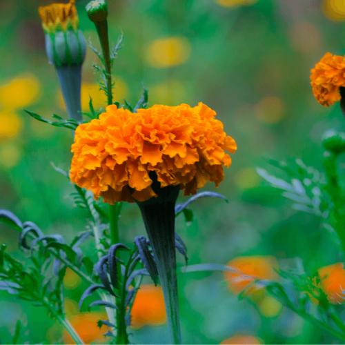 marigold silica gel kit