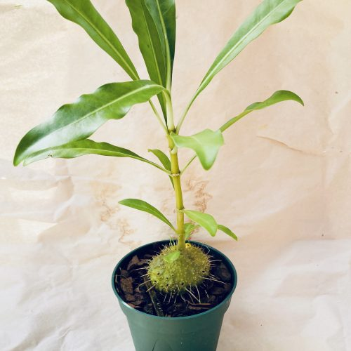 ant plants unique houseplant 3