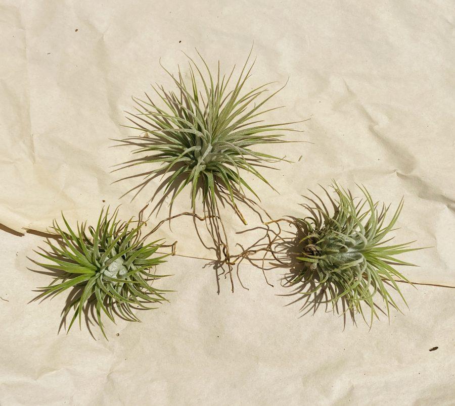 air plants 4 nofarmneeded