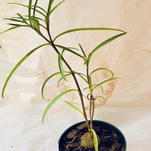 ant-plants unique houseplant