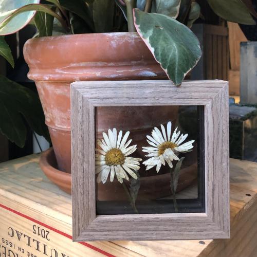 Shasta Daisy Keepsake - Pressed Botanical Holiday Gift