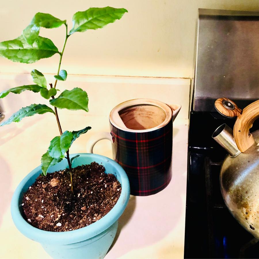 Tea Plant Boiling NoFarmNeeded