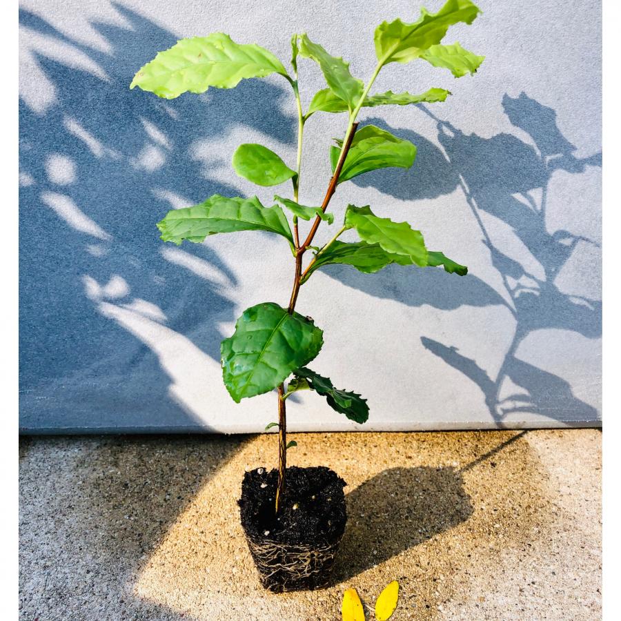 Tea Plant 40 cell plug NoFarmNeeded