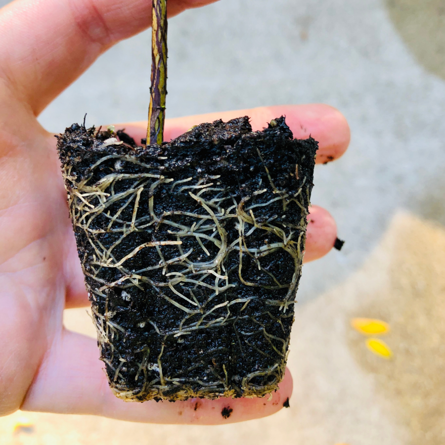 Tea Plant Roots for a 40 cell plug NoFarmNeeded