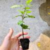 Tea Plant Holding NoFarmNeeded