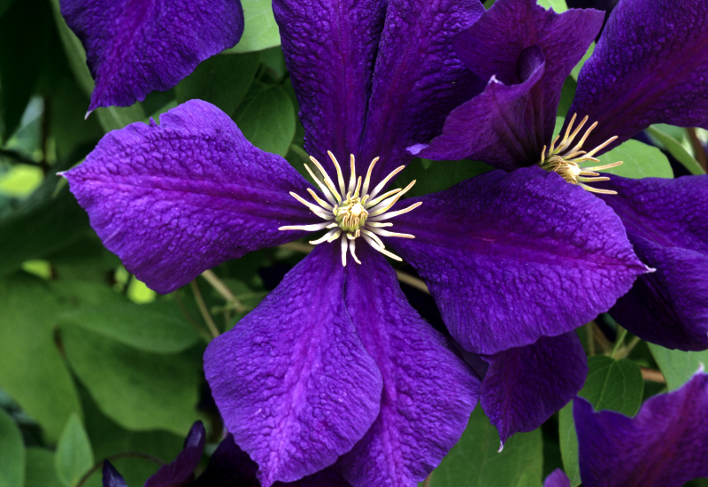 Clematis Language of Flowers