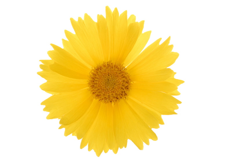 Coreopsis Language of Flowers