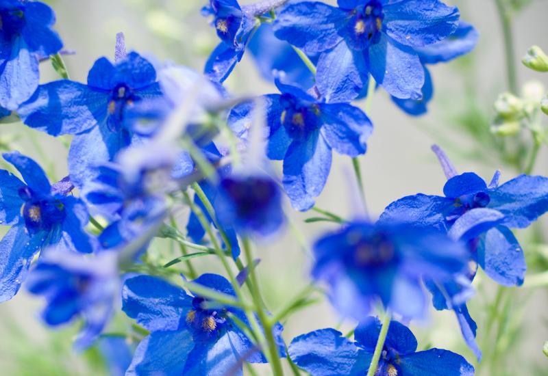 Delphinium Language of Flowers