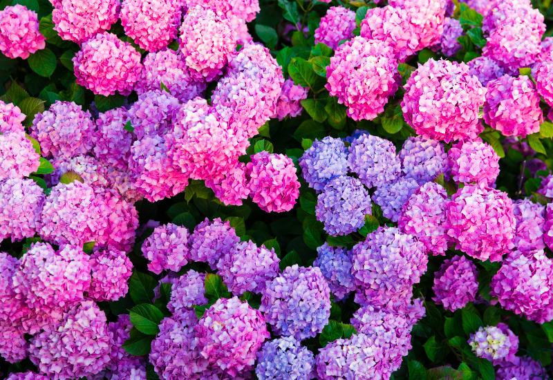 Hydrangea Language of Flowers