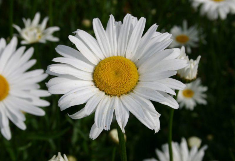 Shasta Daisy Flower Meaning